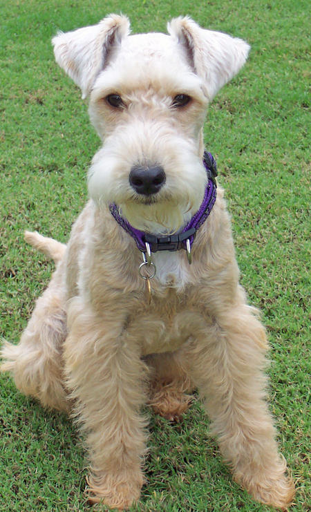 Lakeland Terrier Dog: Lakeland Emmy The Lakeland Terrier Breed