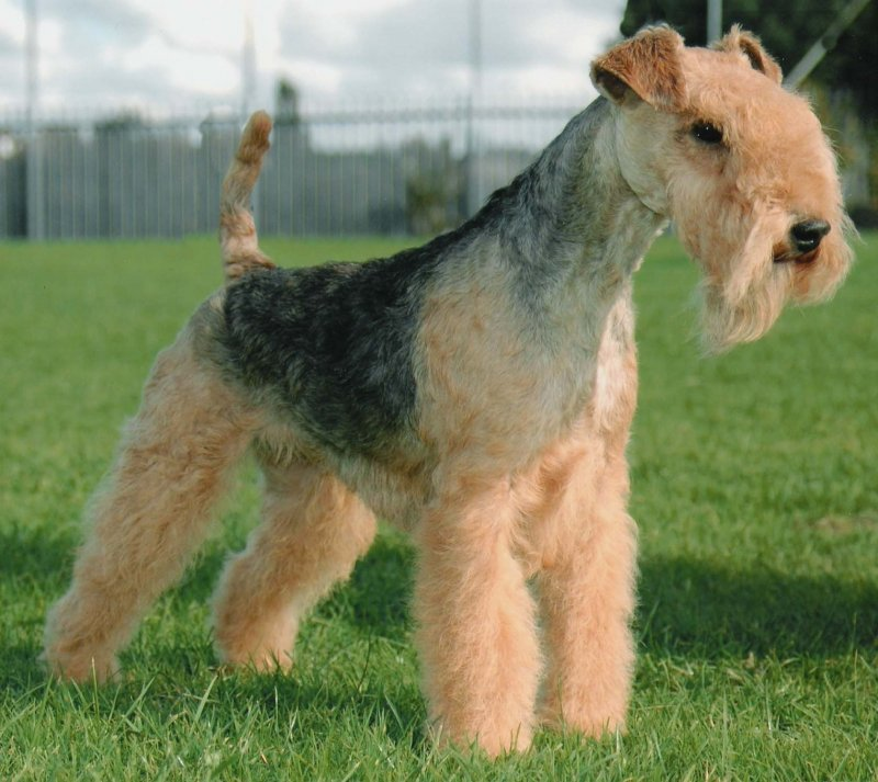 Lakeland Terrier Dog: Lakeland Lakeland Terrier Breed