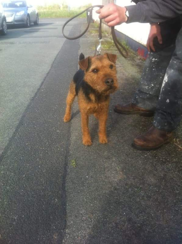 Lakeland Terrier Dog: Lakeland Lakeland Terrier Dog For Sale Carlisle Breed