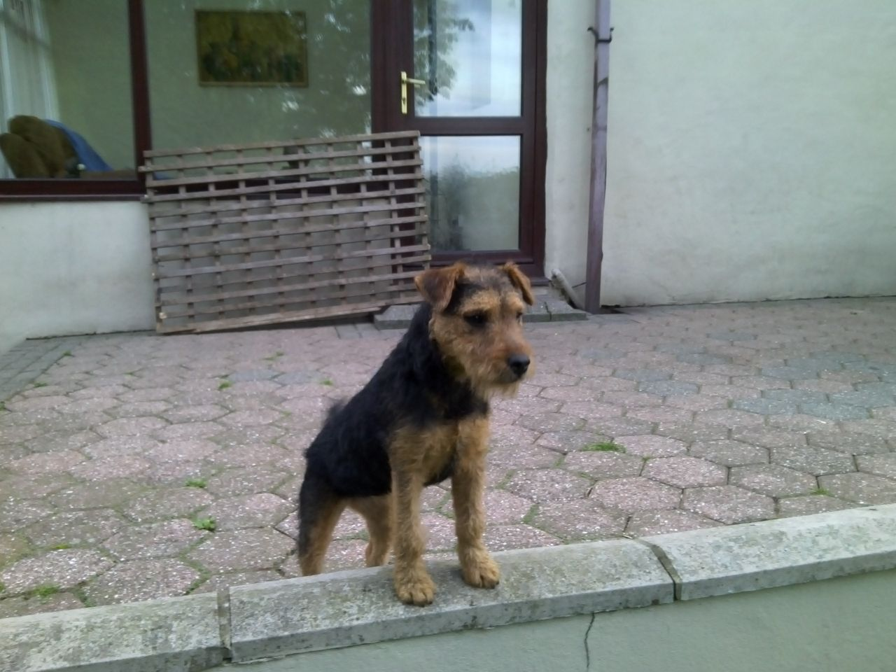 Lakeland Terrier Dog: Lakeland Lakeland Terrier Dog For Sale Consett Breed