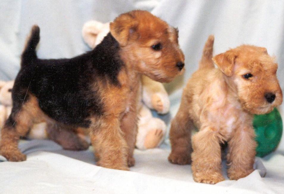Lakeland Terrier Puppies: Lakeland Lakeland Terrier Dog Puppies Breed