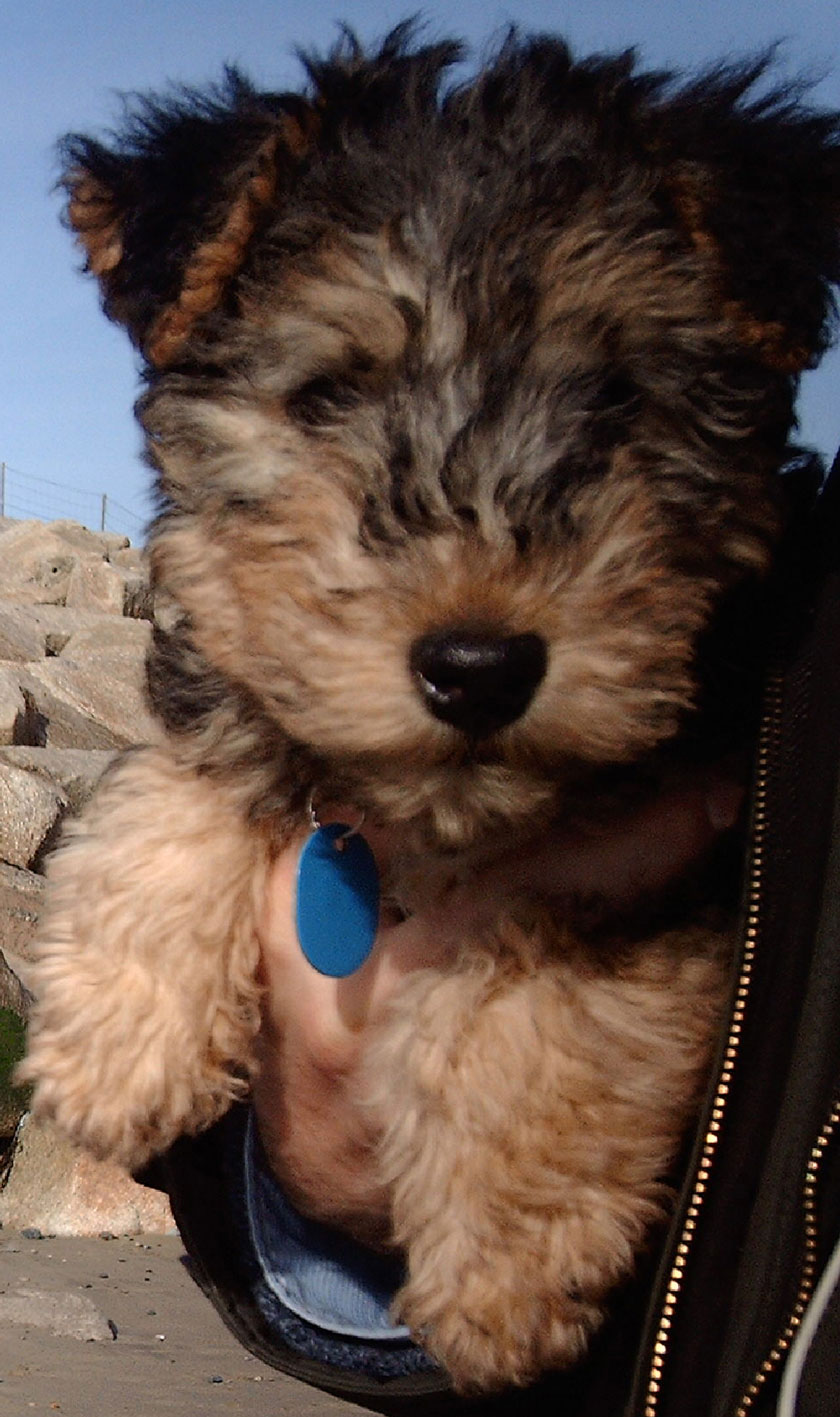 Lakeland Terrier Puppies: Lakeland Lakeland Terrier Puppies Breed