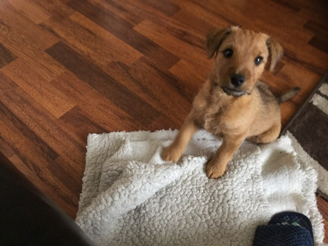 Lakeland Terrier Dog: Lakeland Lakeland Terrier Puppy Dog Ready Now Hull Breed