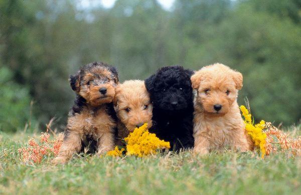 Lakeland Terrier Puppies: Lakeland Lakelandterrierpuppies Breed