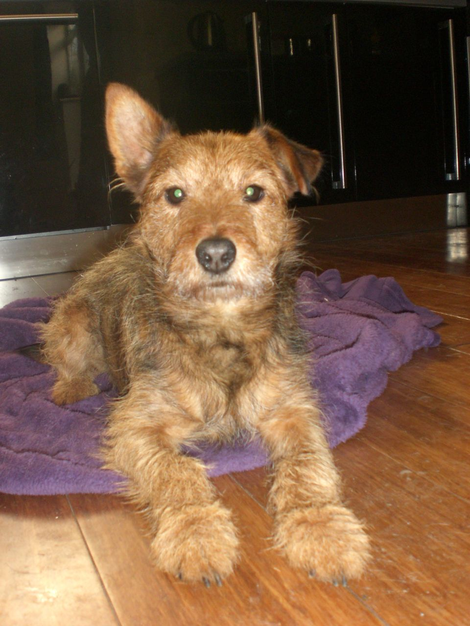 Lakeland Terrier Dog: Lakeland Loving Patterdale X Lakeland Terrier Dog For Sale Norwich Breed