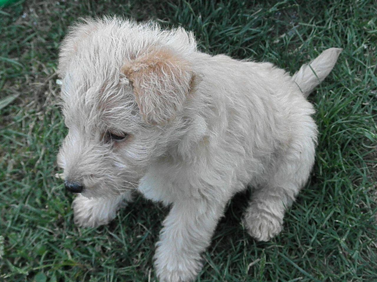 Lakeland Terrier Puppies: Lakeland Pedigree Kc Lakeland Terrier Puppies For Sale Chelmsford Breed