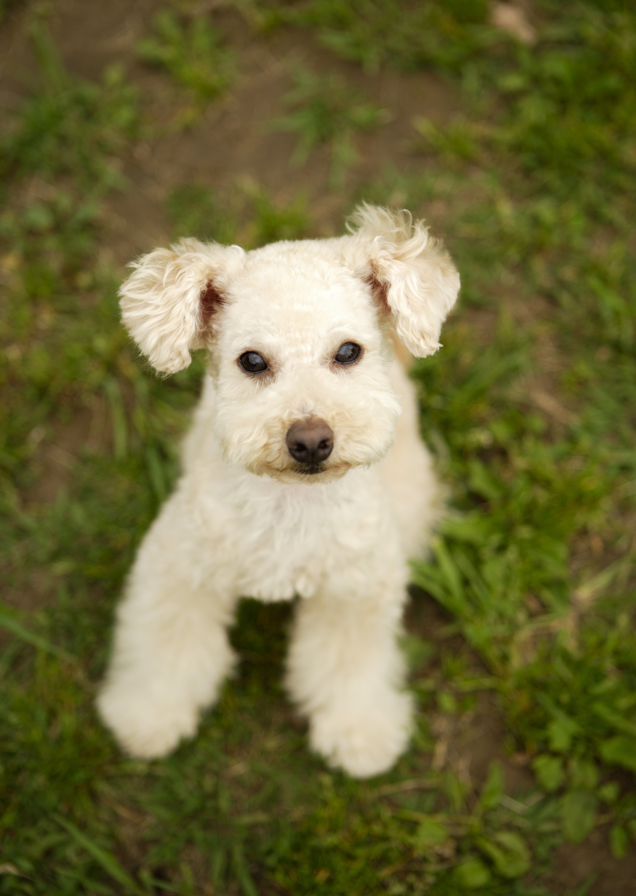 Lakeland Terrier Dog: Lakelandterrierwhitedogs Breed