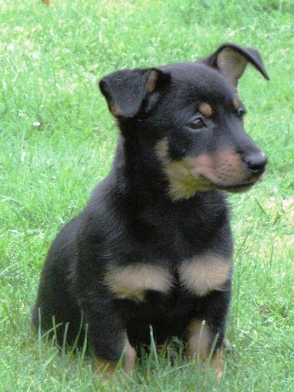 Lancashire Heeler Dog: Lancashire Breed