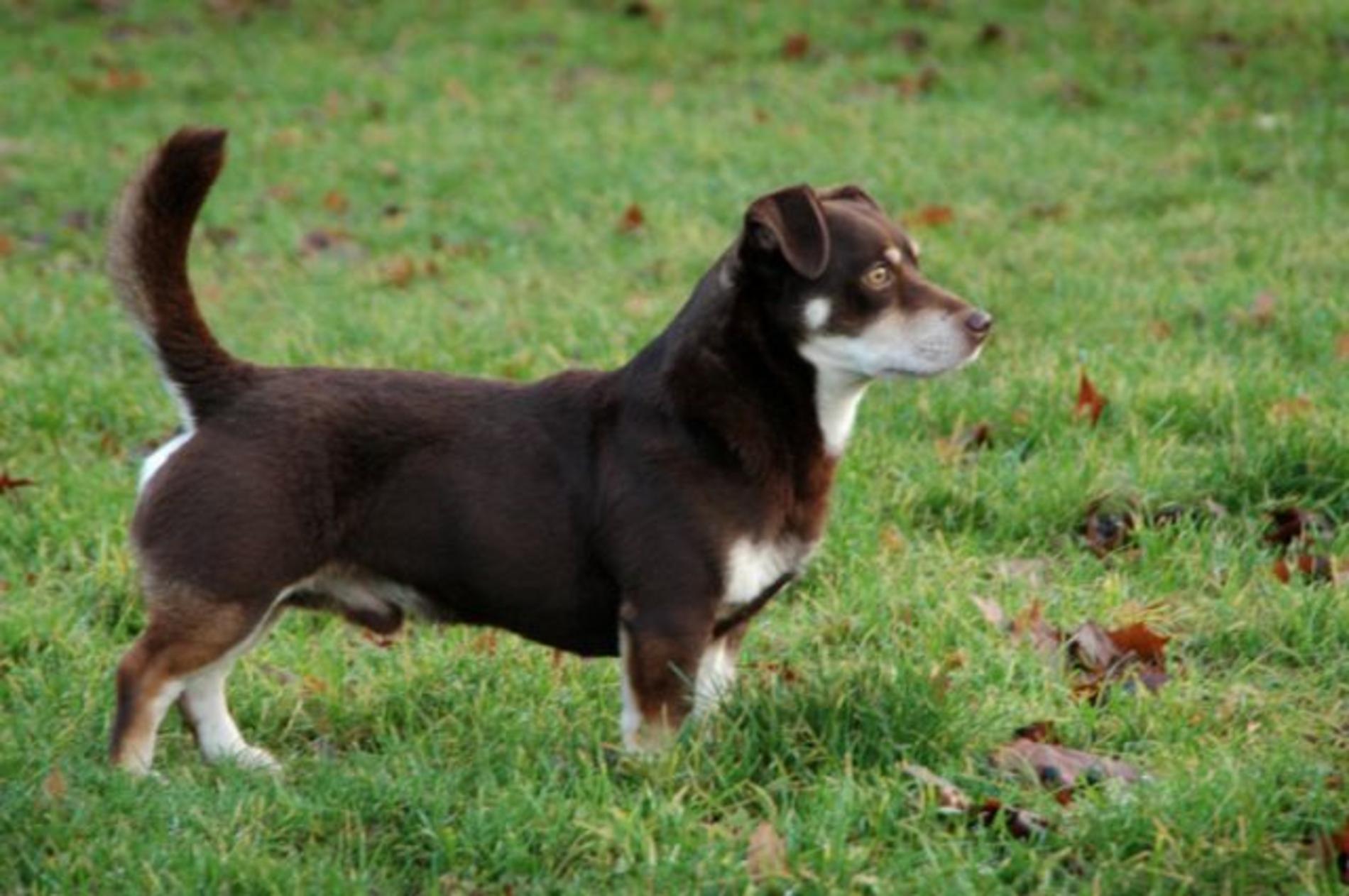 Lancashire Heeler Dog: Lancashire Cute Lancashire Heeler Dog Breed
