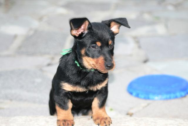Lancashire Heeler Puppies: Lancashire Gallery Breed