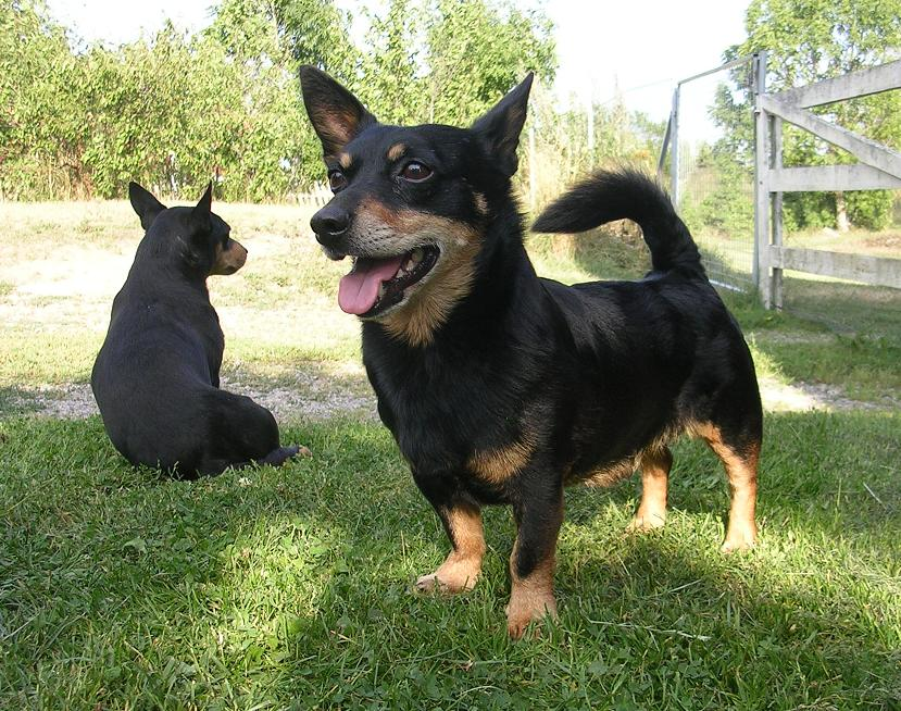 Lancashire Heeler Dog: Lancashire Lancashire Heeler Breed