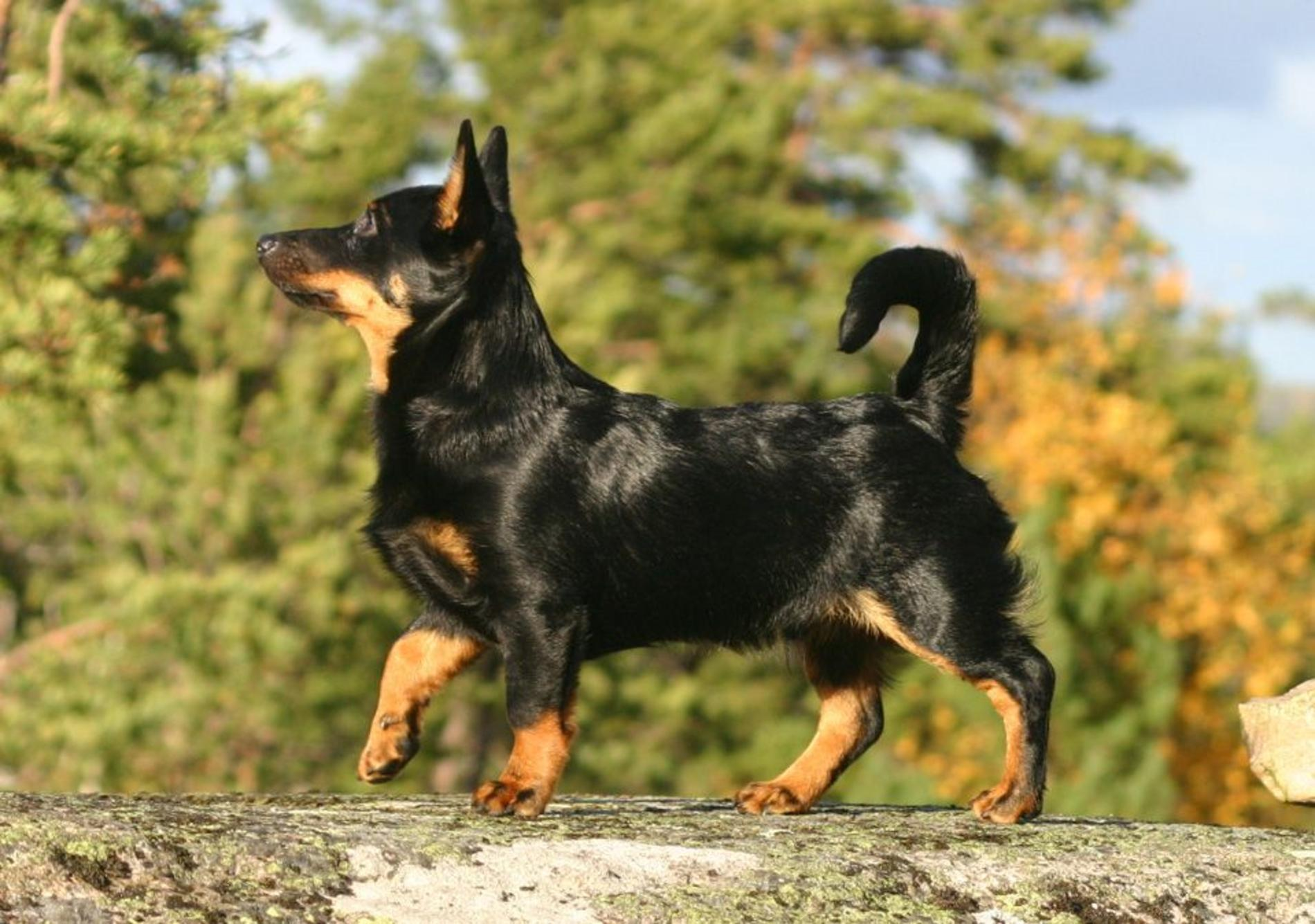 Lancashire Heeler Dog: Lancashire Lancashire Heeler Dog For A Walk Breed