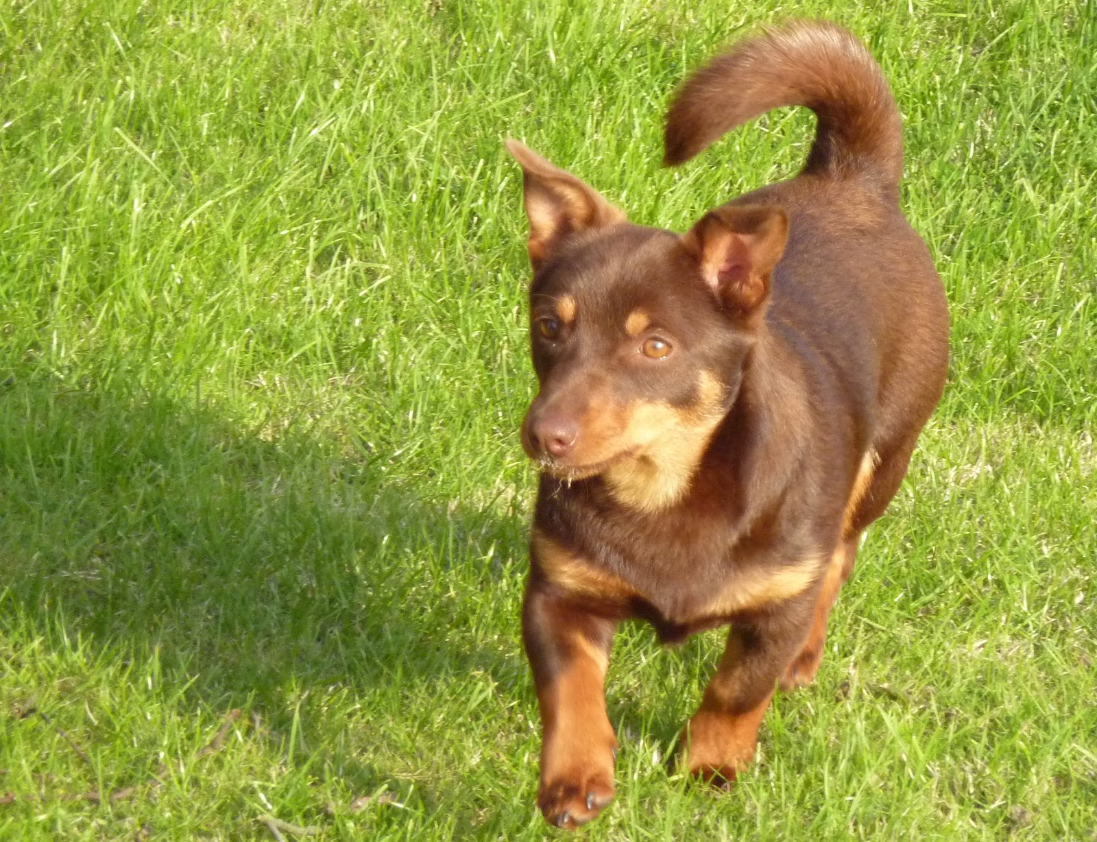 Lancashire Heeler Dog: Lancashire Lancashire Heeler Dog On The Grass Breed