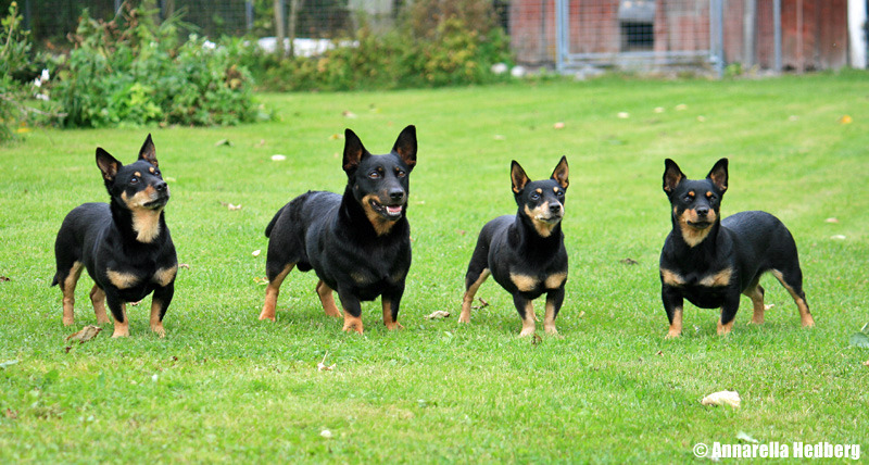 Lancashire Heeler Dog: Lancashire Lancashire Heeler Dogs Breed