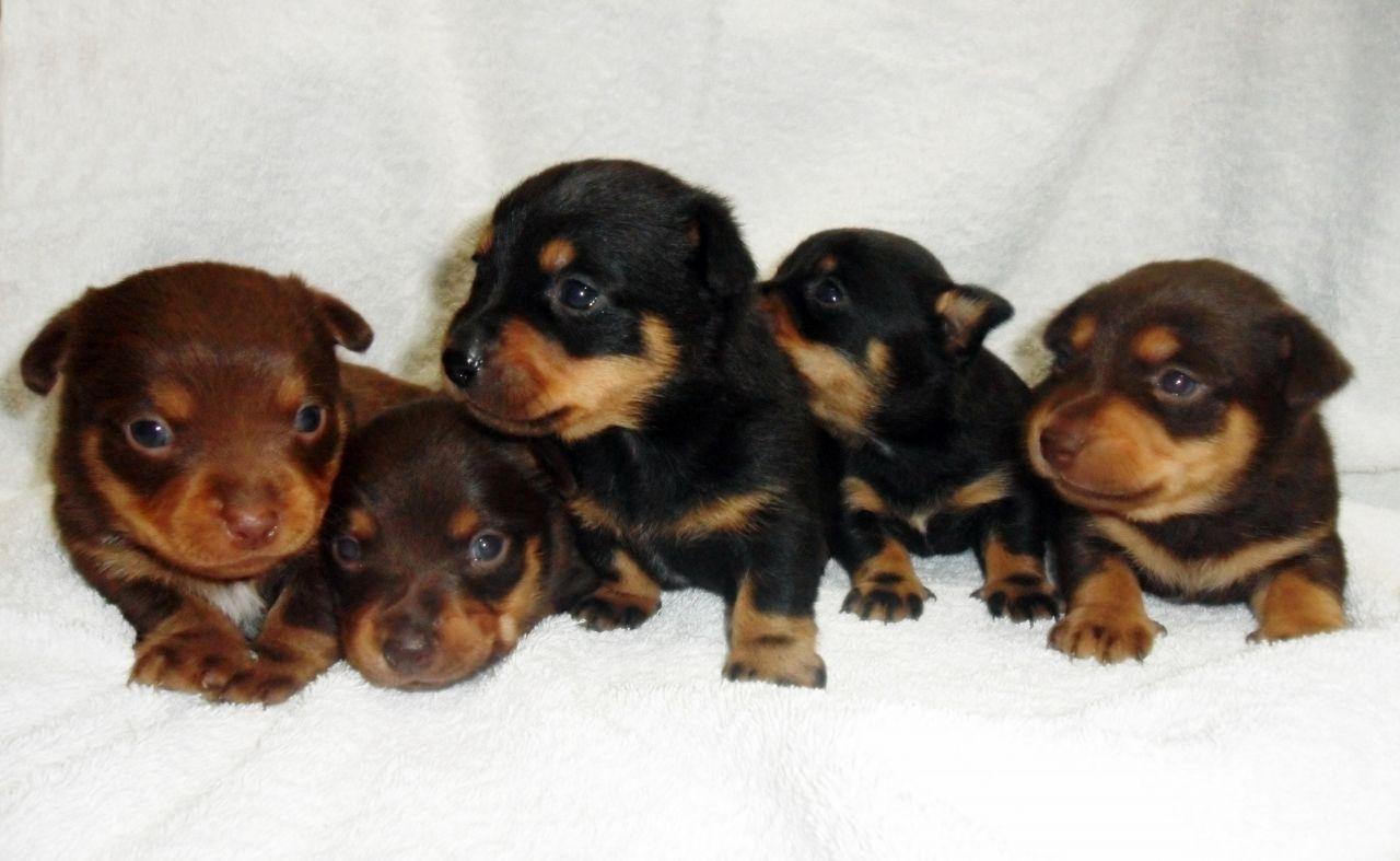 Lancashire Heeler Puppies: Lancashire Lancashire Heeler Puppies For Sale Greenock Breed