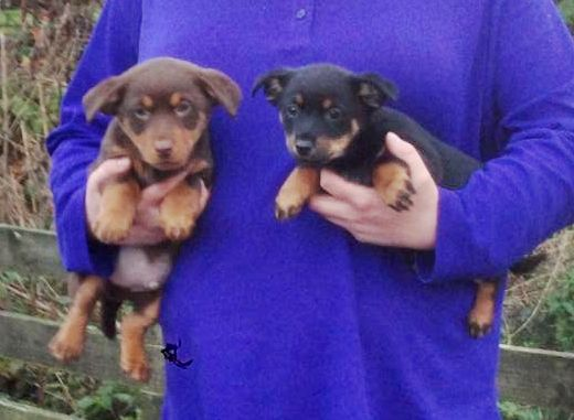 Lancashire Heeler Puppies: Lancashire Lancashire Heeler Puppies Greenock Breed