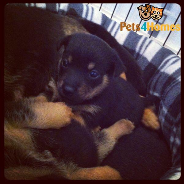 Lancashire Heeler Puppies: Lancashire Lancashire Heeler Puppies Jack Russell Wigan Breed