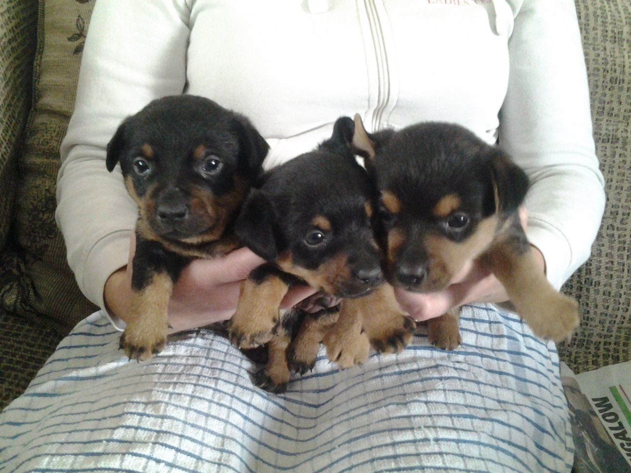 Lancashire Heeler Dog: Lancashire Lancashire Heeler Puppies Lytham St Annes Breed