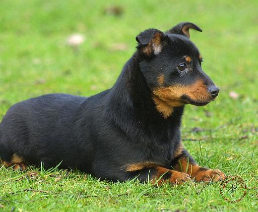 Lancashire Heeler Dog: Lancashire Lancashireheelerpd Breed