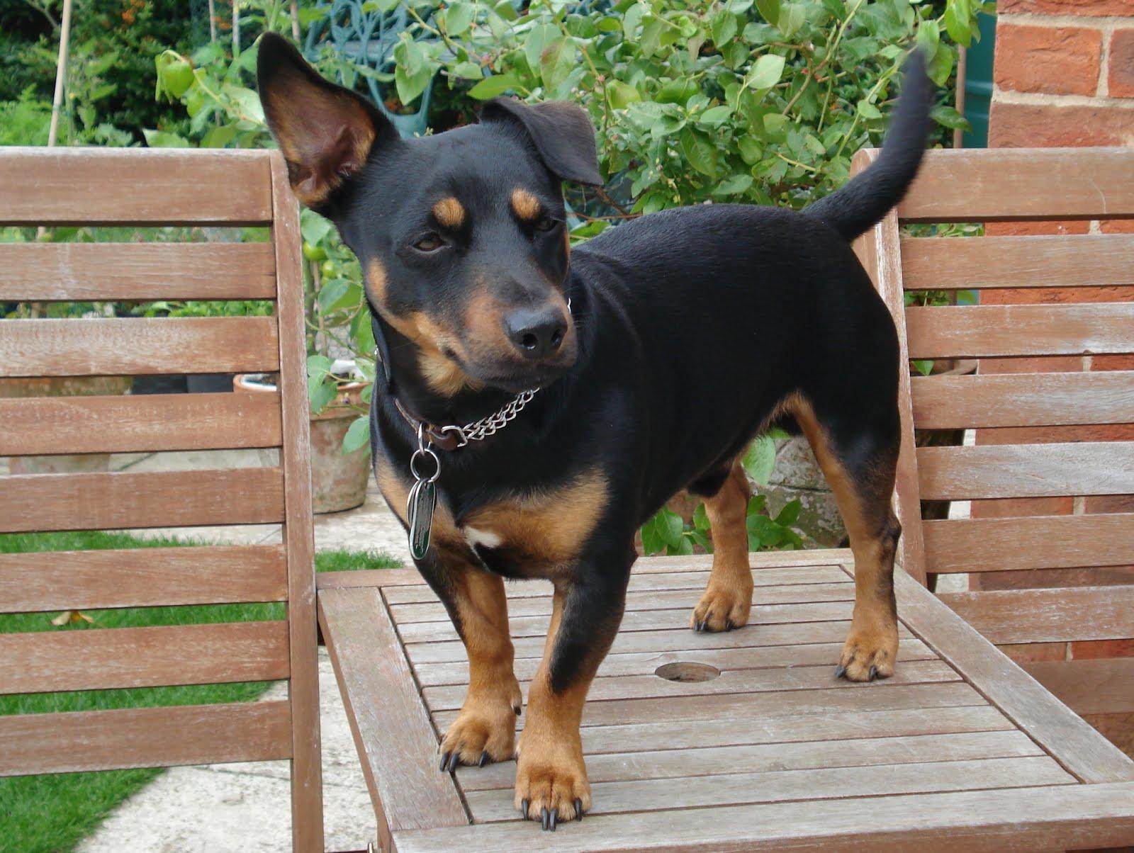 Lancashire Heeler Dog: Lancashire Lovely Lancashire Heeler Dog Breed