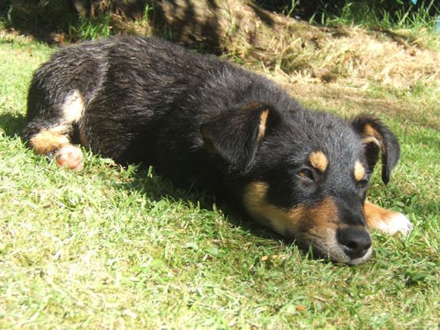 Lancashire Heeler Puppies: Lancashire Puppiesgallery Breed