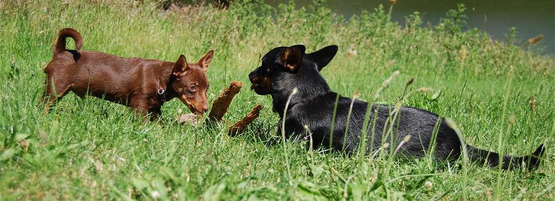 Lancashire Heeler Puppies: Lancashire Rasbeschrijving Lancashire Heeler Breed