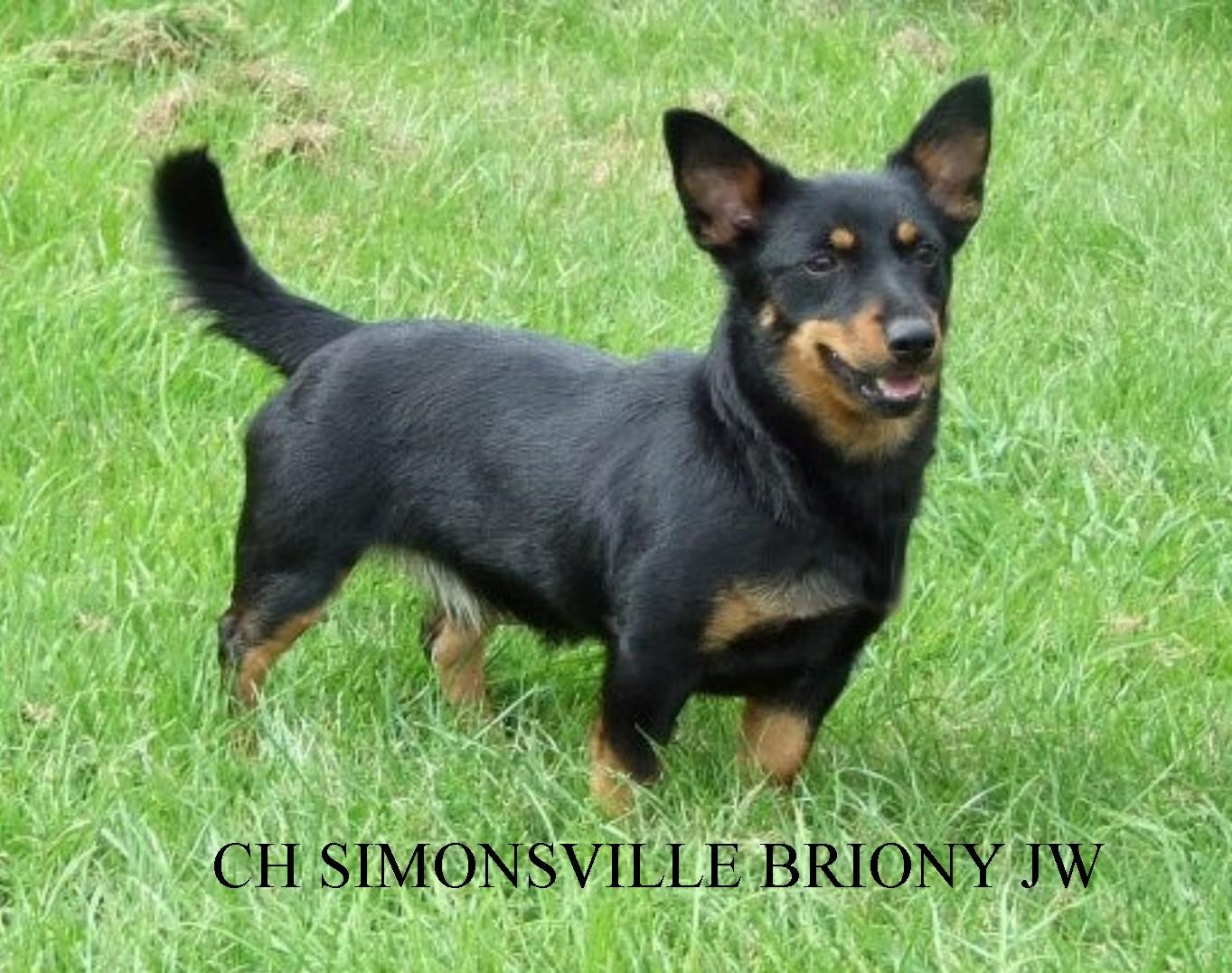 Lancashire Heeler Dog: Lancashire Simonsville Lancashire Heelers Gallery Breed