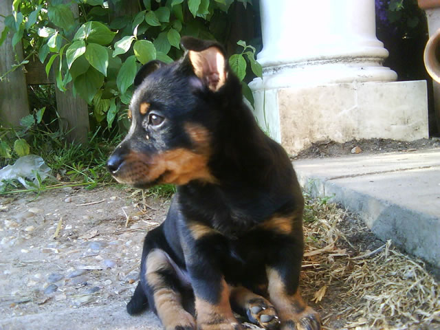 Lancashire Heeler Puppies: Lancashire Traqdean Lancashire Heelers Gallery Breed