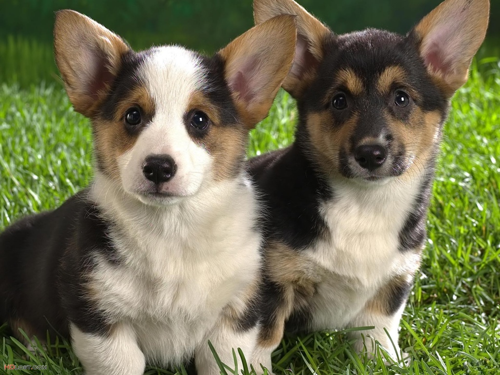 Lancashire Heeler Dog: Lancashire Two Lancashire Heeler Dogs Breed