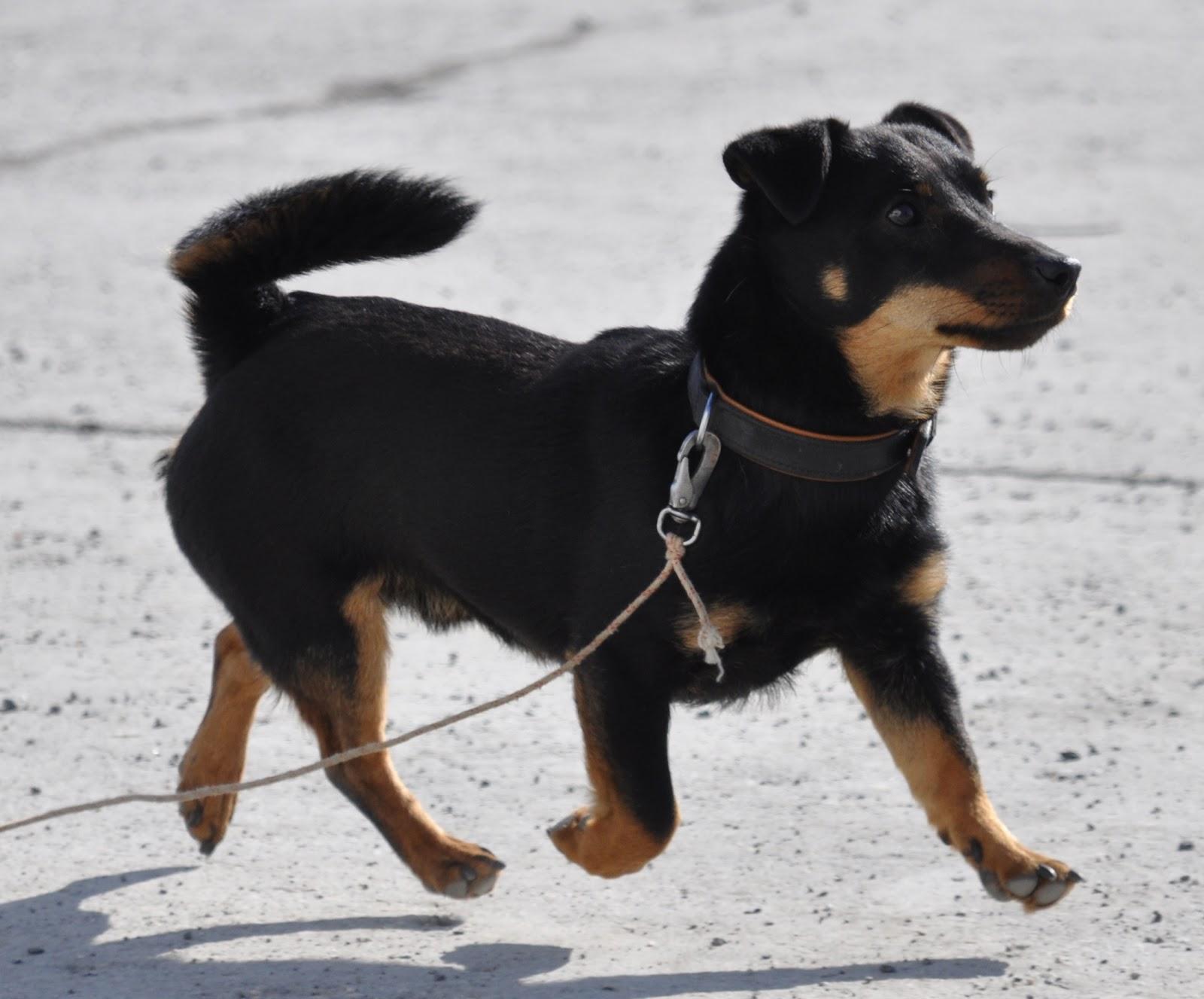 Lancashire Heeler Dog: Lancashire Walking Lancashire Heeler Dog Breed