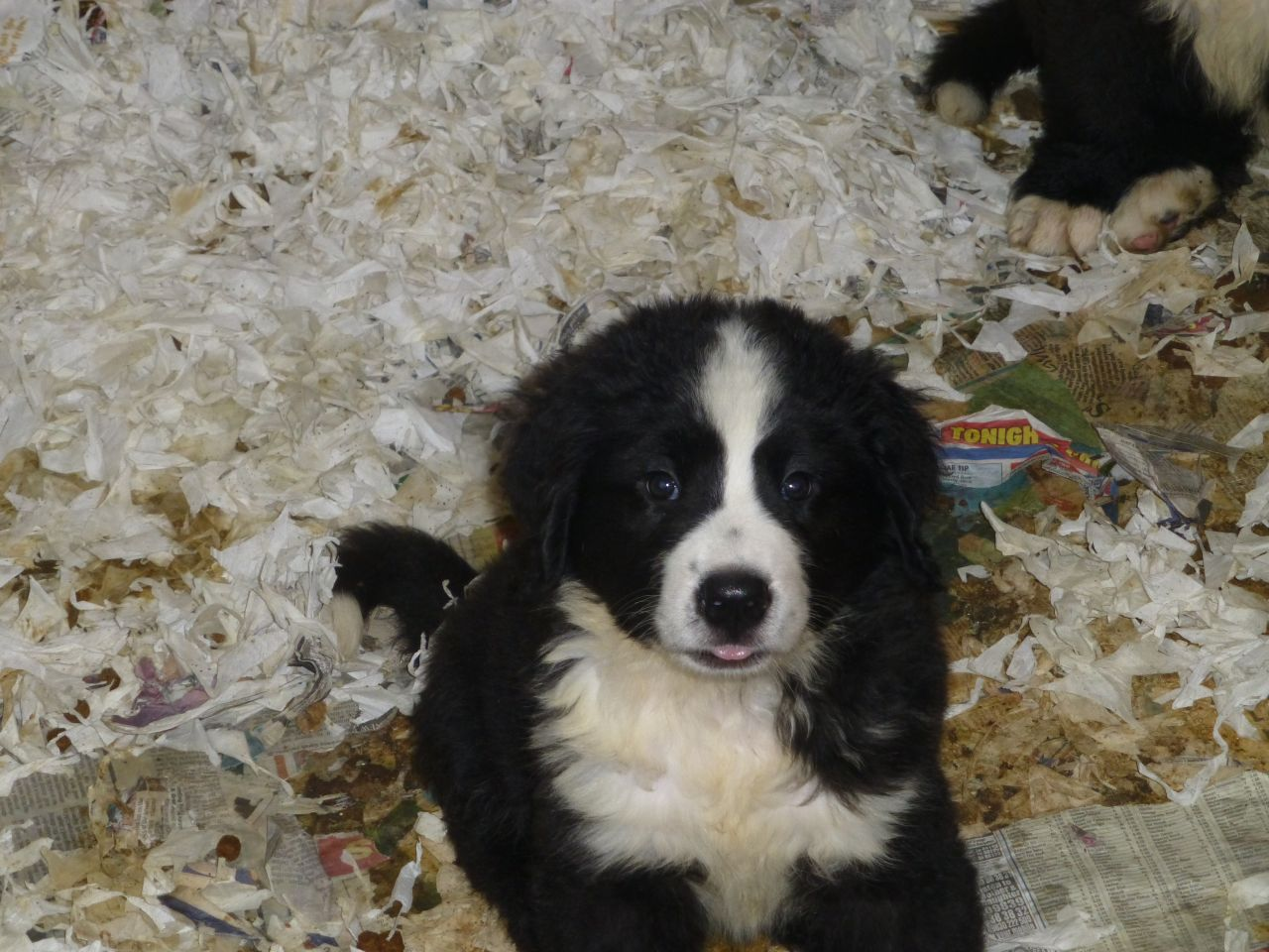 Landseer Puppies: Landseer Bernese Cross Landseer Newfoundland Puppies Swindon Breed