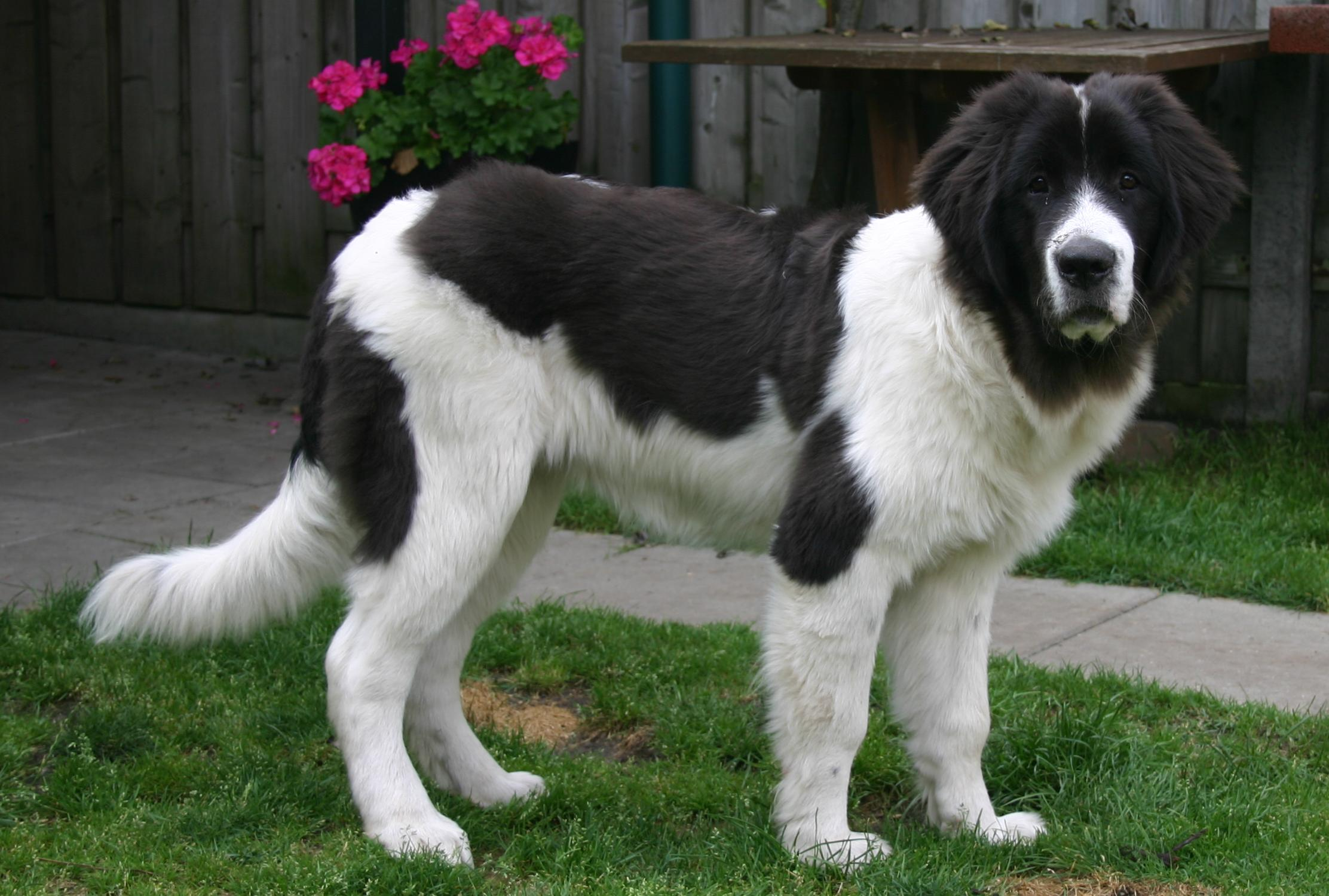 Landseer Dog: Landseer Cute Landseer Dog Breed