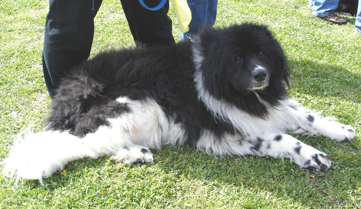 Landseer Puppies: Landseer Greatest Things About Newfoundland Dogs Breed