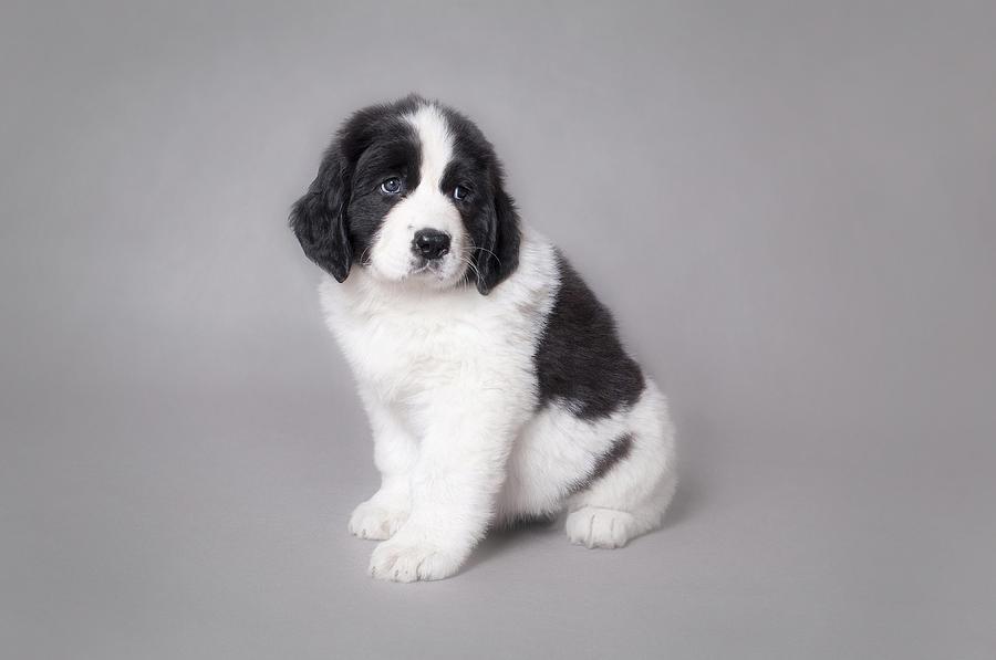 Landseer Puppies: Landseer Httpccwwwebhavithacomchirecclandseer Newfoundland Puppies For Sale Canada Ijpg Breed