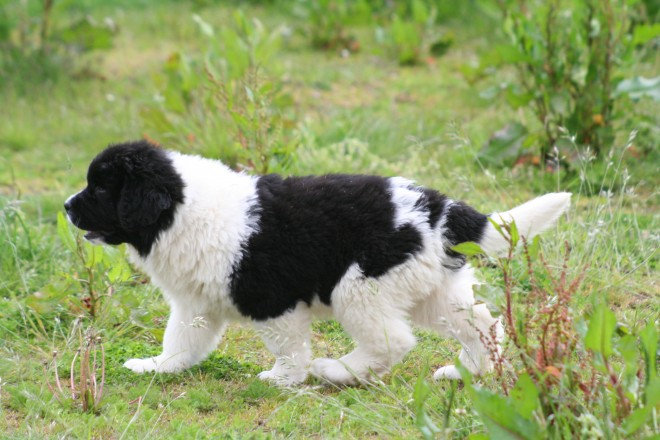 Landseer Puppies: Landseer K C Registered Landseer Puppies Rugby Breed