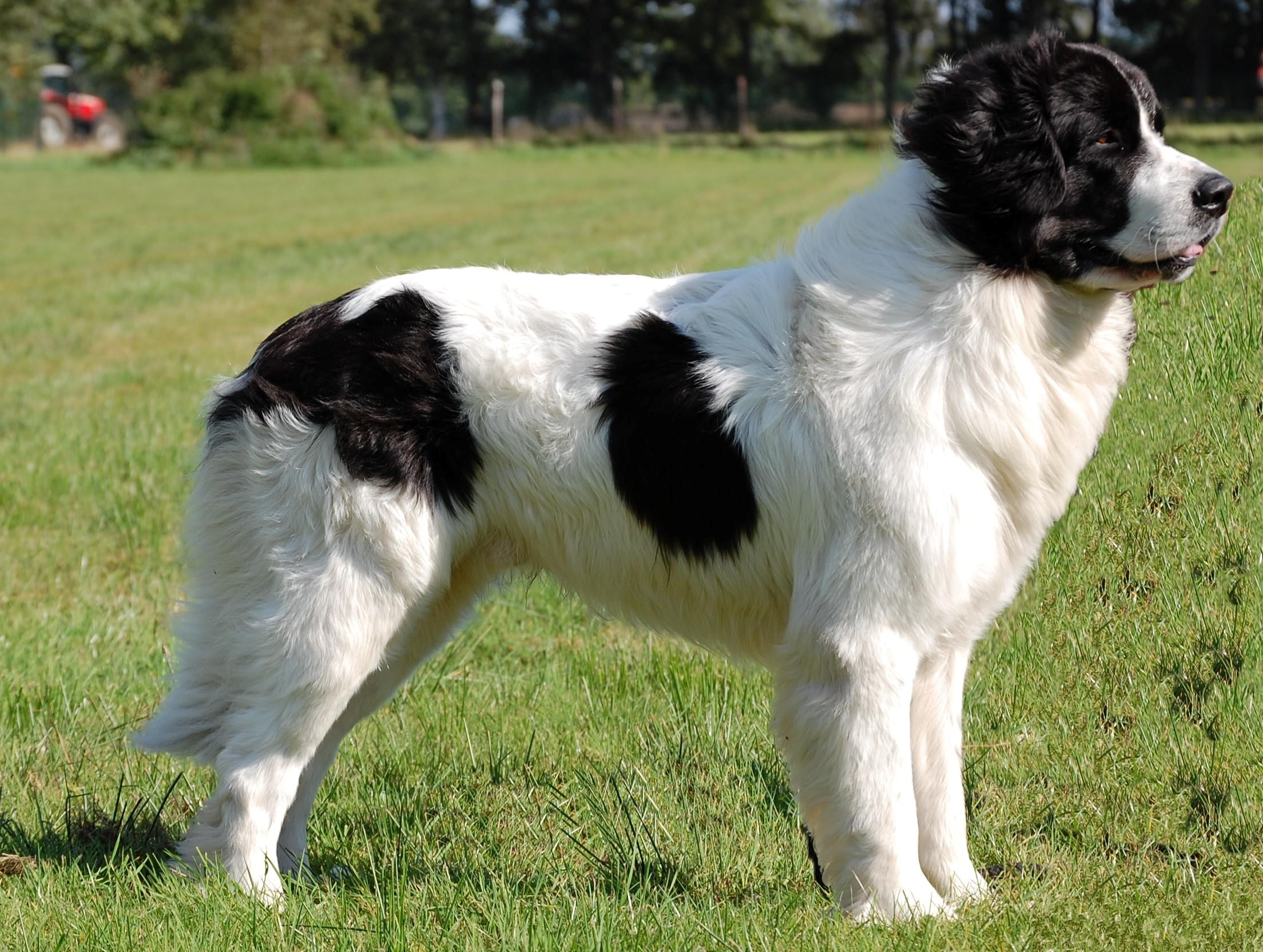 Landseer Dog: Landseer Landseer Breed