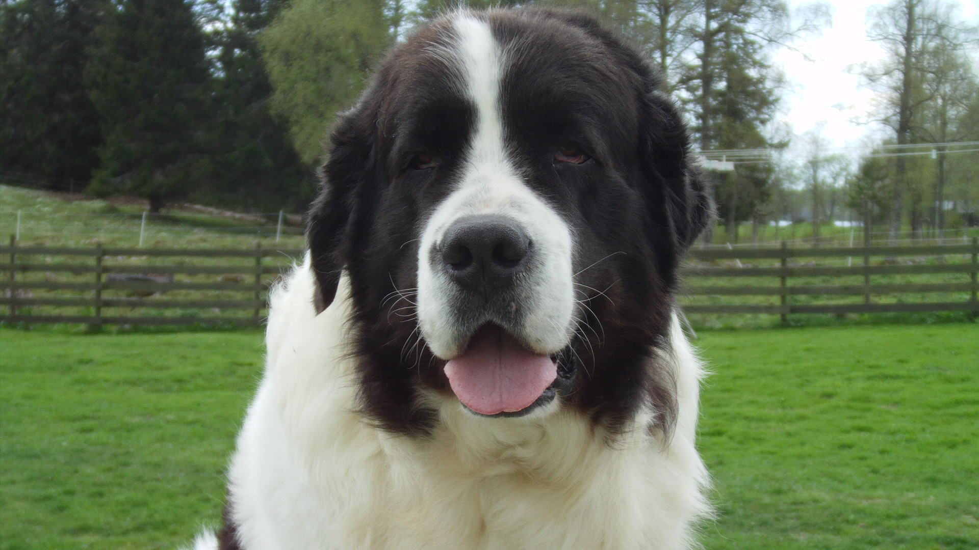 Landseer Dog: Landseer Landseer Dog Face Breed