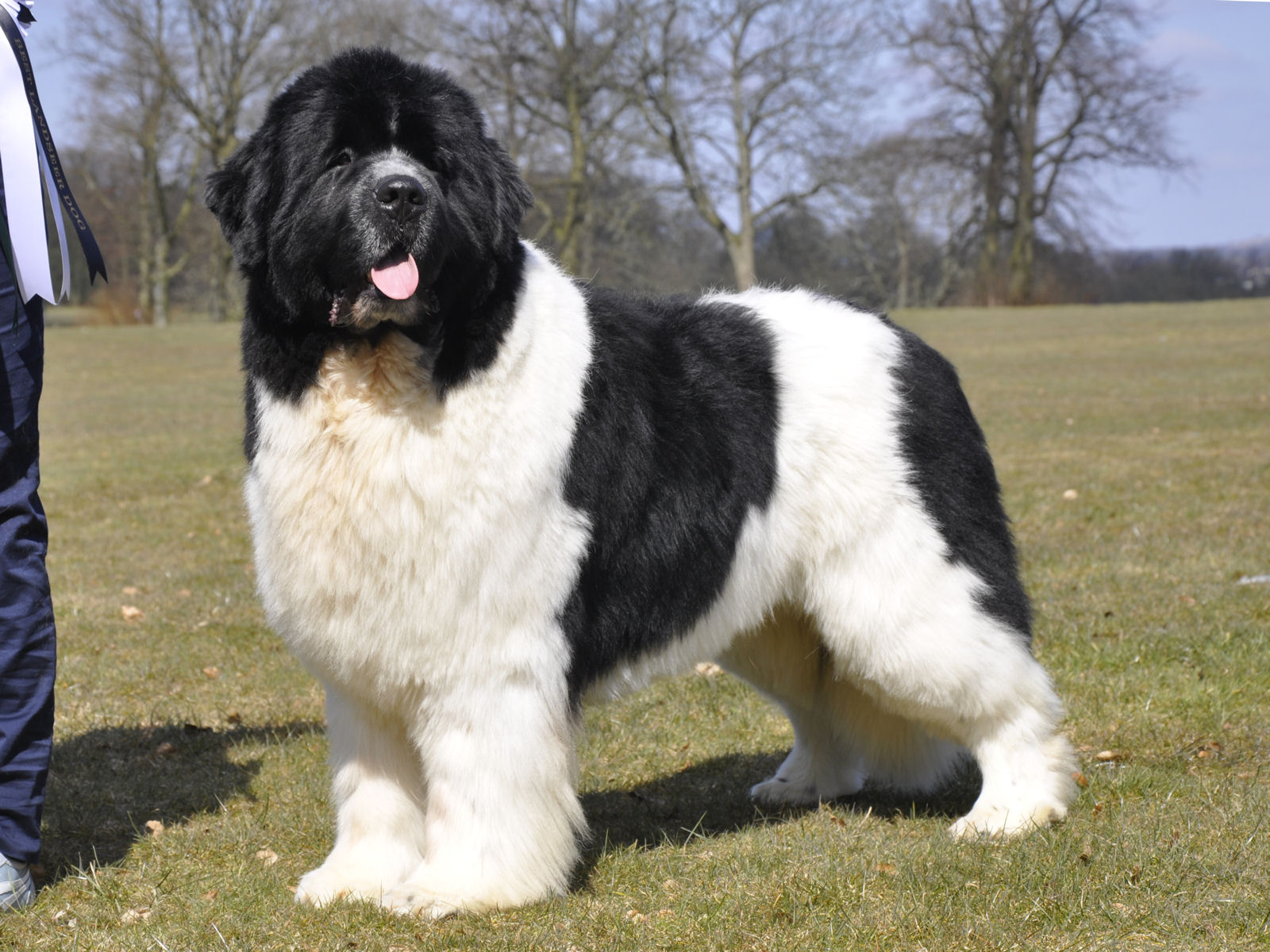Landseer Dog: Landseer Landseer Newfoundland Dog Breed