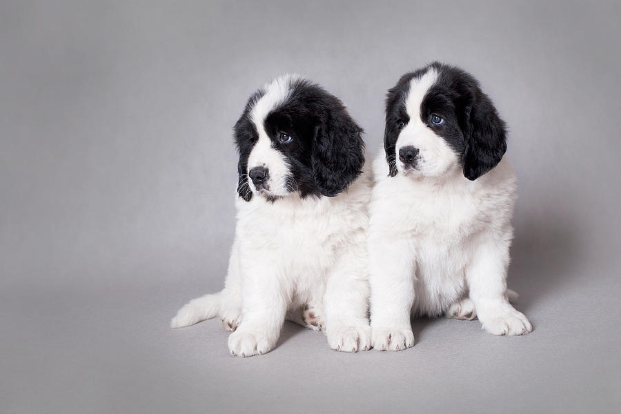 Landseer Puppies: Landseer Landseer Newfoundland Puppies Breed