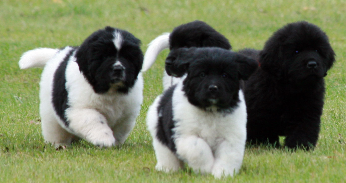 Landseer Dog: Landseer Landseer Puppies Breed