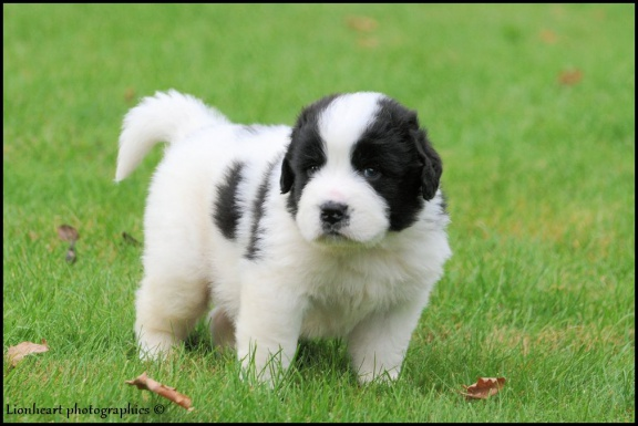 Landseer Puppies: Landseer Landseerpuppies Breed
