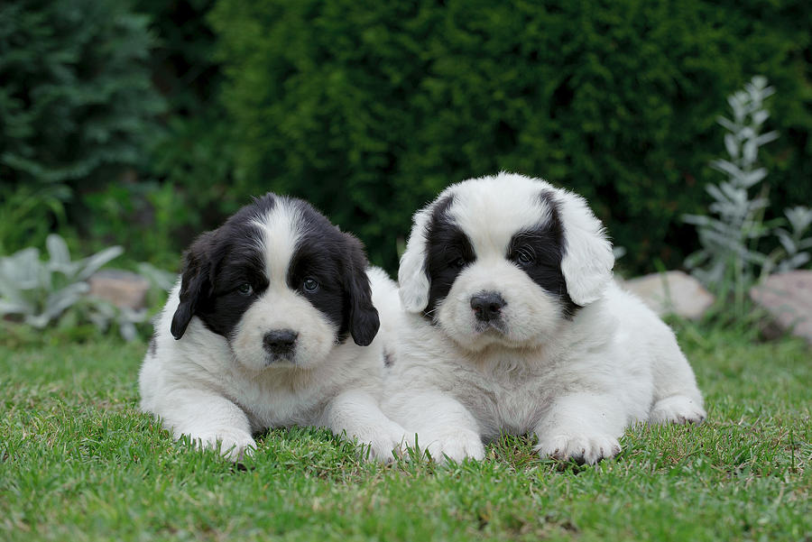 Landseer Puppies: Landseer Little Landseer Puppy Portrait Waldemar Dabrowski Breed
