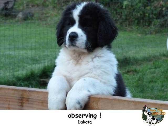 Landseer Puppies: Landseer Pclpuppiesdwk Breed