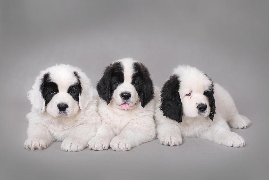 Landseer Puppies: Landseer Three Little Landseer Puppies Portrait Waldemar Dabrowski Breed
