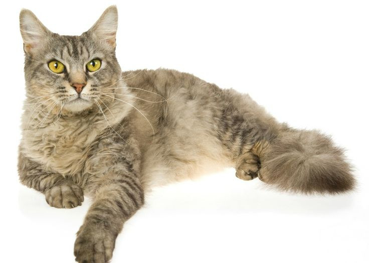 Laperm Cat: Laperm Breed