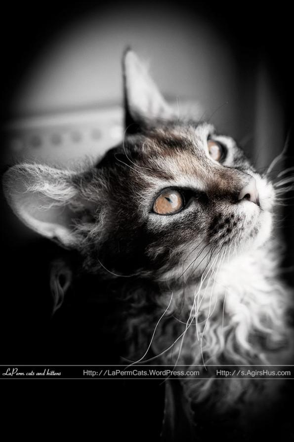 Laperm Kitten: Laperm Bw Breed