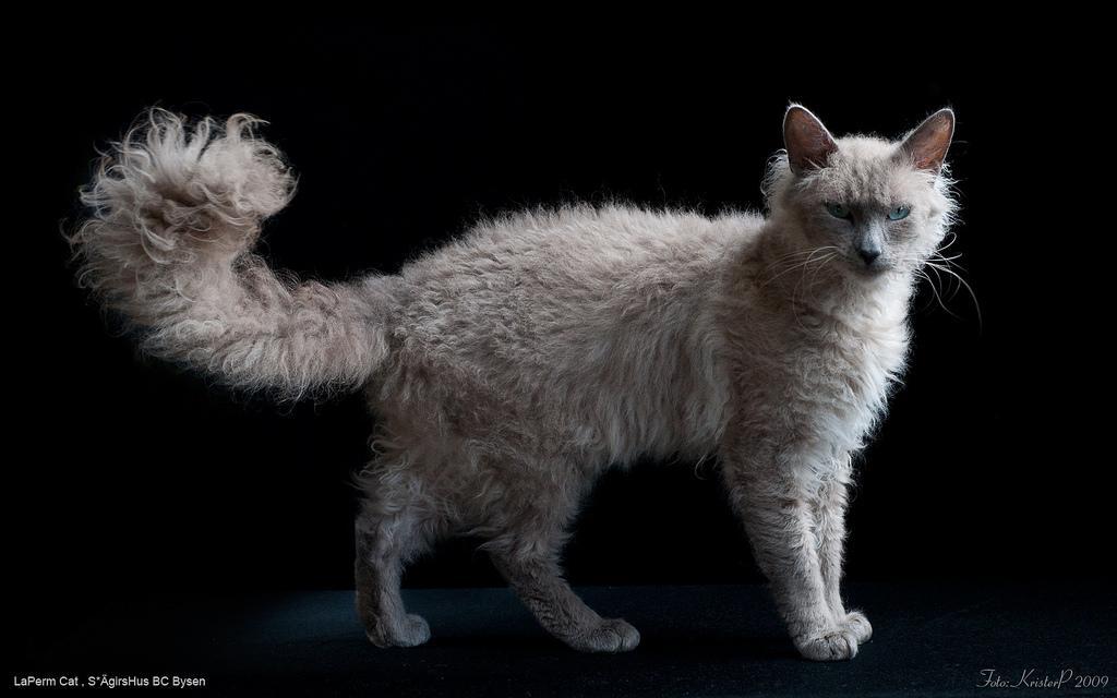Laperm Cat: Laperm La Perm Laperm Kudrjavaja Fermerskaja Koshka Breed