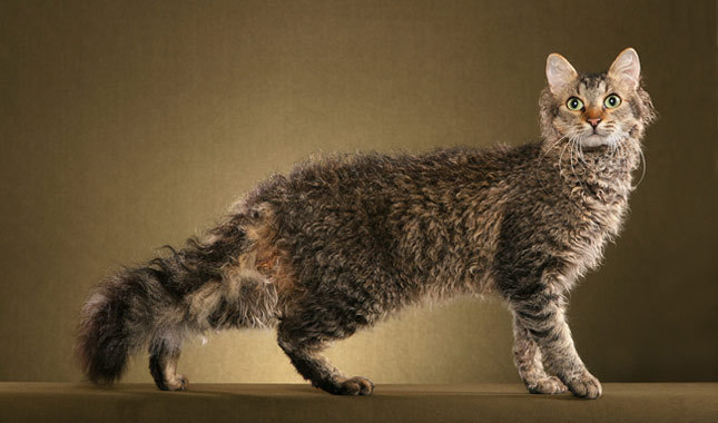 Laperm Cat: Laperm Laperm Breed