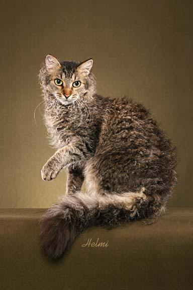 Laperm Cat: Laperm Laperm Cat Breed