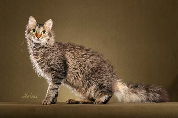 Laperm Cat: Laperm Laperm Cat Picture Breed